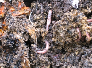compost_red_wigglers